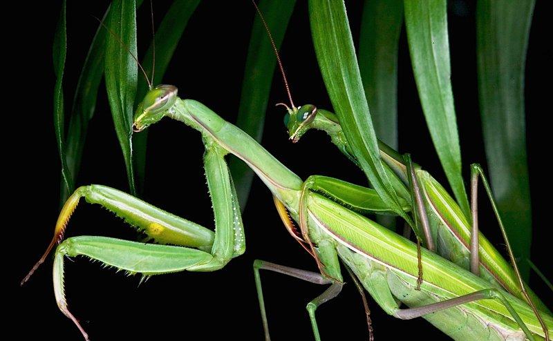 mantis wsf