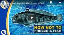 Why Don't Antarctic Fish Freeze toDeath?