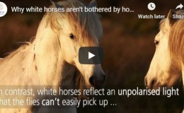 Why white horses aren't bothered by horse-flies – submitted by JoanneO'Meara