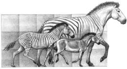 How Did HorsesEvolve?